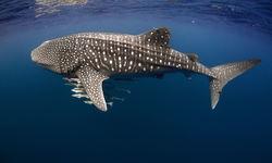 Whale Shark with Cobia, Ningaloo Reef