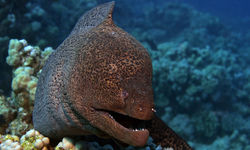 Moray Eel underwater