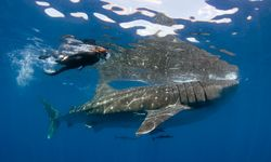 Snorkeller with Whale Shark