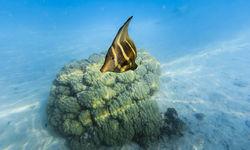 Sailfin Tang Fish, French Polynesia
