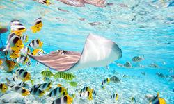 Ray swimming with fish, Bora Bora