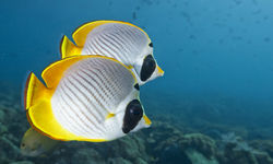 Butterfly Fish Swimming