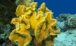 Yellow coral at Milne Bay