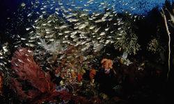 School of Glass Fish