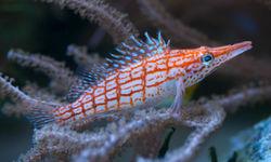 Longnose Hawkfish, Milne Bay