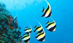 Moorish Idol Fish, Seychelles
