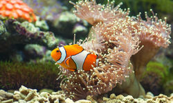 Close up of clownfish