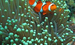 Clownfish, Philippines