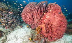 Red coral, Moyo Island