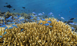 Coral Reef, Moyo