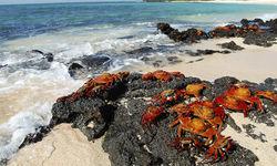 Crabs on beach, Galapagos