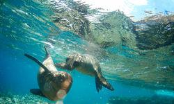 Seals Swimming, Galapagos