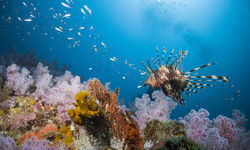Lionfish and soft coral