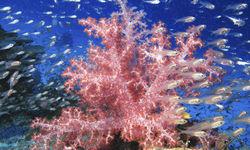 Koh Lanta Soft Coral, Thailand