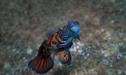 Picture of Mandarinfish mating in Tufi