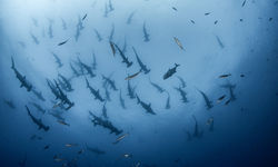 a fever of hammerheads