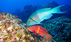 parrot fish feed on a reef