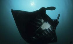 Darth Manta Ray Underwater