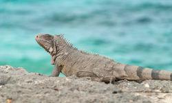 Iguana in Bonaire