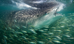 Whale Shark, Mafia Island