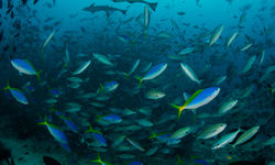 Shoal of fish at Beqa Lagoon