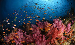 Soft Coral and fish, Fiji