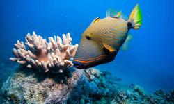 Orange Lined Triggerfish, Australia
