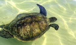 Sea Turtle, Lord Howe