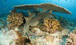 Nurse sharks hiding under the coral reef in Grenada