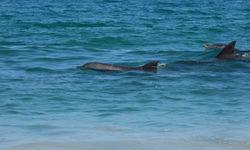 dolphins at the beach shore, Salalah