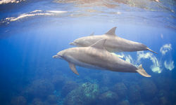 Dolphins Swimming, Hawaii