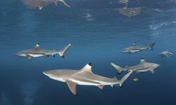 Black Tip Reef Sharks, New Britain