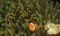 Clown fish, Kimbe Bay