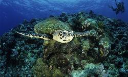 Turtle Swimming, New Britain