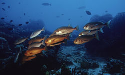 Red Snappers, Kimbe Bay