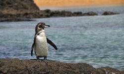 Penguin waddling