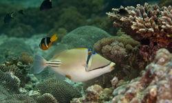 Triggerfish, Oman