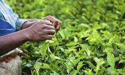 Tea Leaves, India