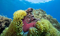 Colourful Sea Anemone, Northern Sulawesi