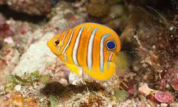 Juvenile Regal Angelfish, Bunaken
