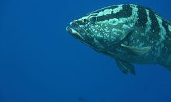 Nassau Grouper Underwater, Cayman