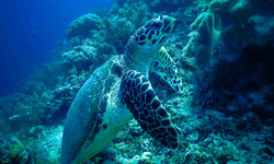 Turtle and coral, Puerto Galera