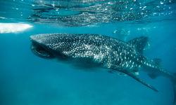 Whale Shark Feeding, Bohol, Philippines
