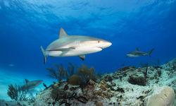 Shark Underwater, Bahamas