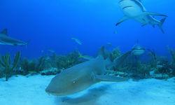 Nurse Shark Underwater