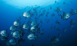 schooling batfish
