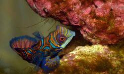 Mandarin Fish, Papua New Guinea