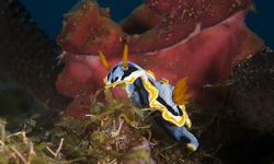 Nudibranch, Papua New Guinea