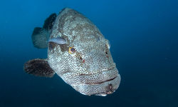 goliath grouper