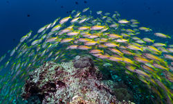 yellow snapper belize